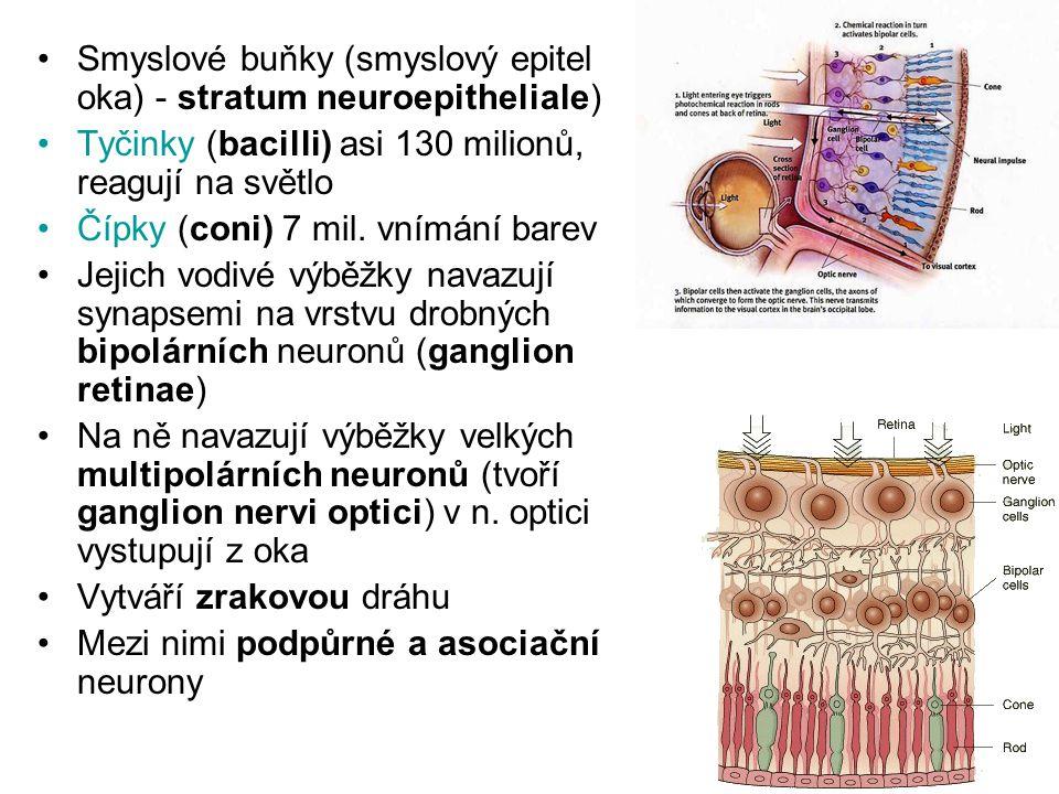 Smyslové buňky (smyslový epitel oka) - stratum neuroepitheliale) Tyčinky (bacilli) asi 130 milionů, reagují na světlo Čípky (coni) 7 mil. vnímání bare