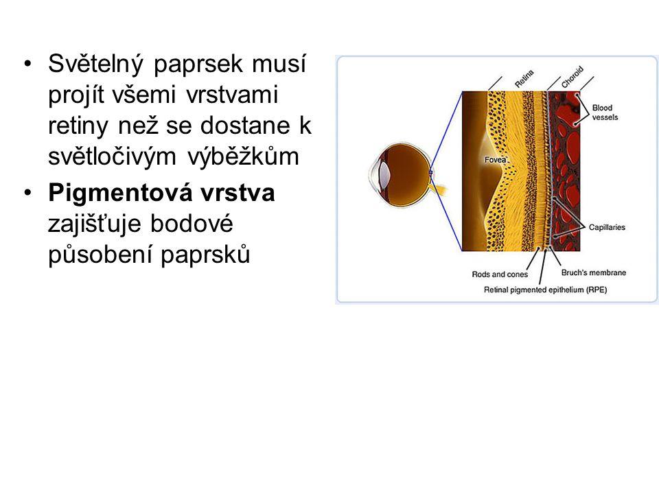Světelný paprsek musí projít všemi vrstvami retiny než se dostane k světločivým výběžkům Pigmentová vrstva zajišťuje bodové působení paprsků