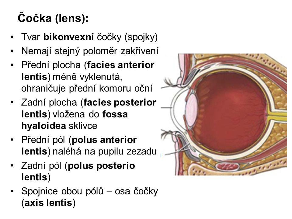 Čočka (lens): Tvar bikonvexní čočky (spojky) Nemají stejný poloměr zakřivení Přední plocha (facies anterior lentis) méně vyklenutá, ohraničuje přední