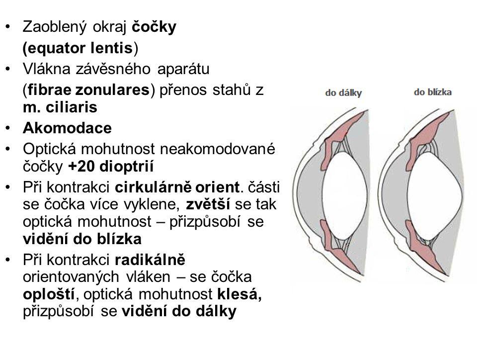 Zaoblený okraj čočky (equator lentis) Vlákna závěsného aparátu (fibrae zonulares) přenos stahů z m. ciliaris Akomodace Optická mohutnost neakomodované