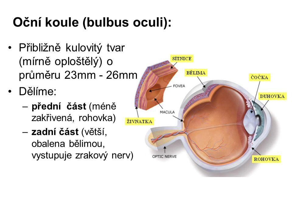 Oční koule (bulbus oculi): Přibližně kulovitý tvar (mírně oploštělý) o průměru 23mm - 26mm Dělíme: –přední část (méně zakřivená, rohovka) –zadní část