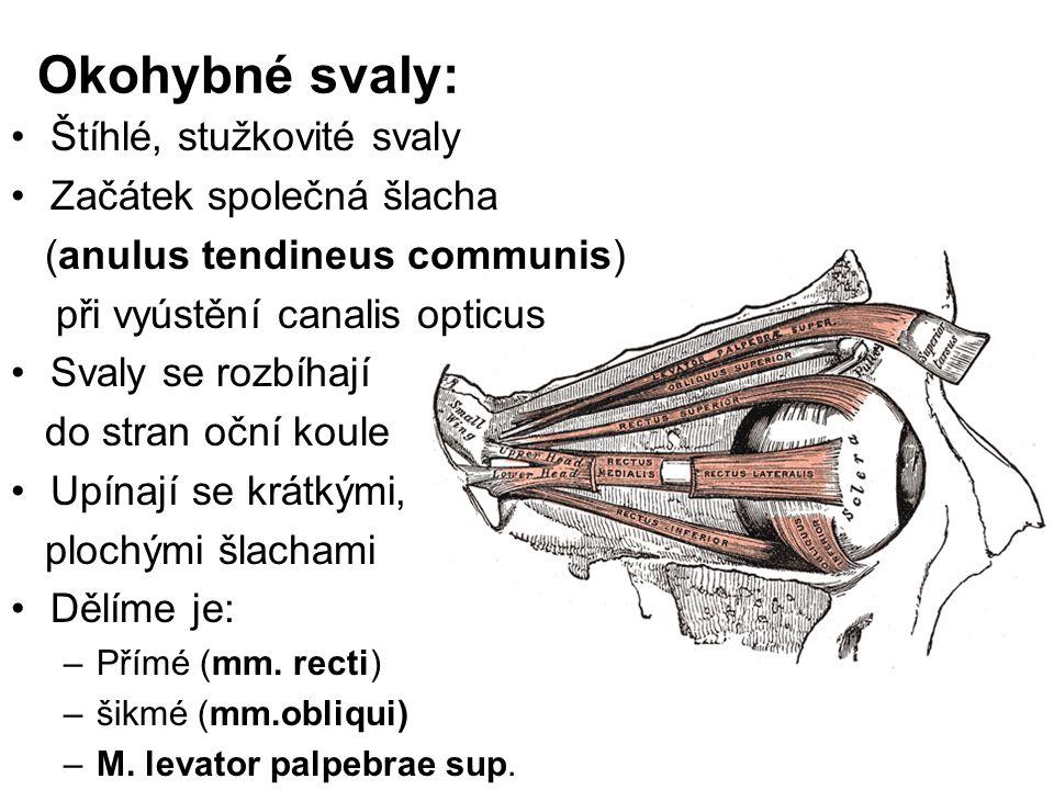 Okohybné svaly: Štíhlé, stužkovité svaly Začátek společná šlacha (anulus tendineus communis) při vyústění canalis opticus Svaly se rozbíhají do stran