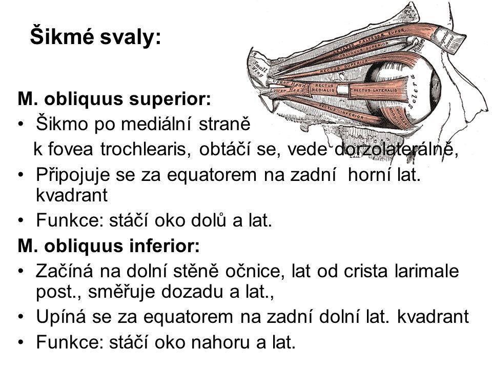 Šikmé svaly: M. obliquus superior: Šikmo po mediální straně k fovea trochlearis, obtáčí se, vede dorzolaterálně, Připojuje se za equatorem na zadní ho