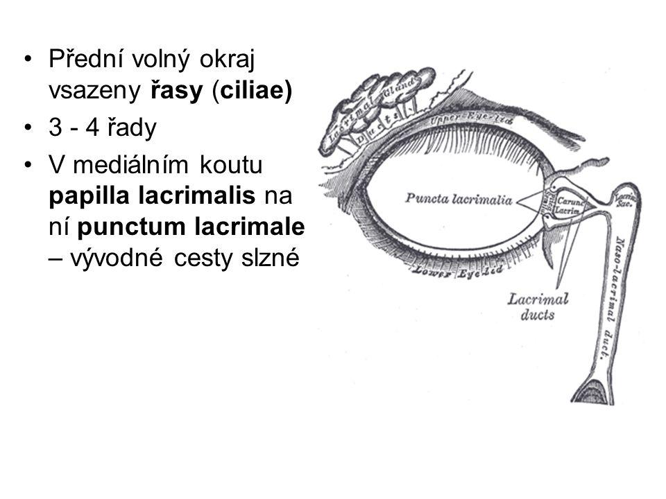 Přední volný okraj vsazeny řasy (ciliae) 3 - 4 řady V mediálním koutu papilla lacrimalis na ní punctum lacrimale – vývodné cesty slzné