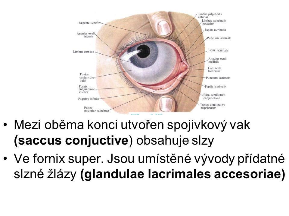 Mezi oběma konci utvořen spojivkový vak (saccus conjuctive) obsahuje slzy Ve fornix super. Jsou umístěné vývody přídatné slzné žlázy (glandulae lacrim