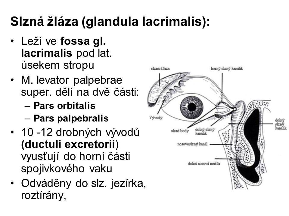 Slzná žláza (glandula lacrimalis): Leží ve fossa gl. lacrimalis pod lat. úsekem stropu M. levator palpebrae super. dělí na dvě části: –Pars orbitalis