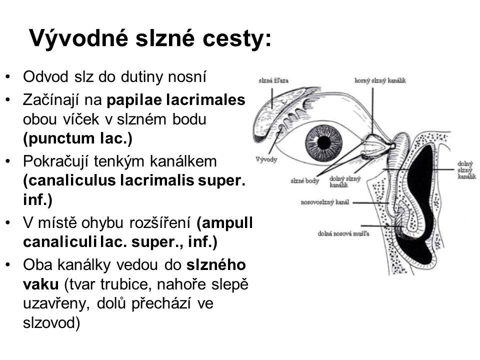 Vývodné slzné cesty: Odvod slz do dutiny nosní Začínají na papilae lacrimales obou víček v slzném bodu (punctum lac.) Pokračují tenkým kanálkem (canal