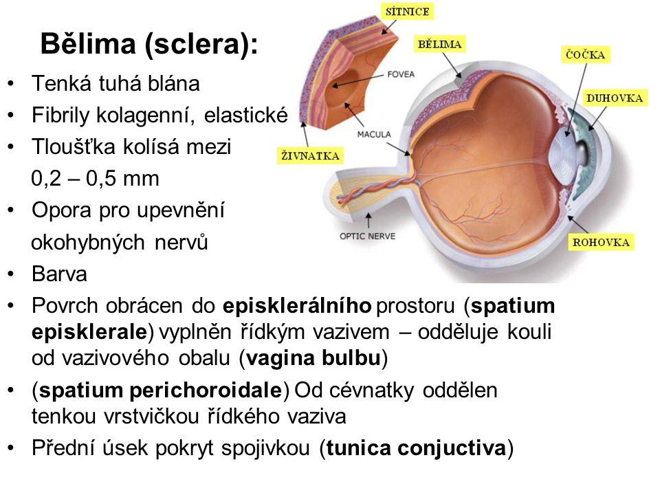 Bělima (sclera): Tenká tuhá blána Fibrily kolagenní, elastické Tloušťka kolísá mezi 0,2 – 0,5 mm Opora pro upevnění okohybných nervů Barva Povrch obrá