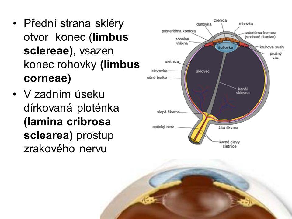 Přední strana skléry otvor konec (limbus sclereae), vsazen konec rohovky (limbus corneae) V zadním úseku dírkovaná ploténka (lamina cribrosa sclearea)