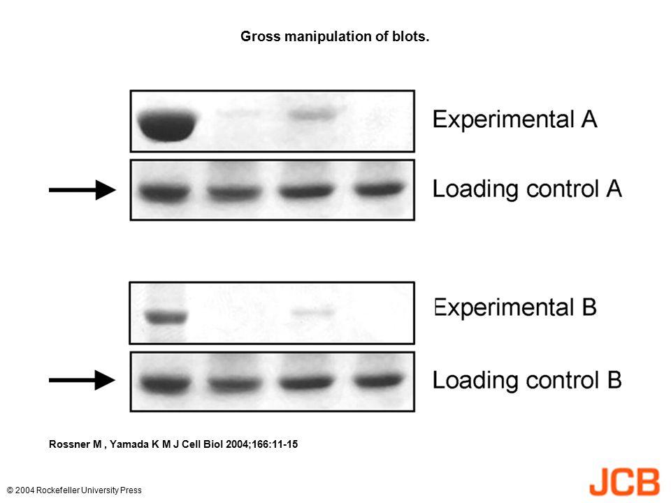 Gross manipulation of blots. Rossner M, Yamada K M J Cell Biol 2004;166:11-15 © 2004 Rockefeller University Press