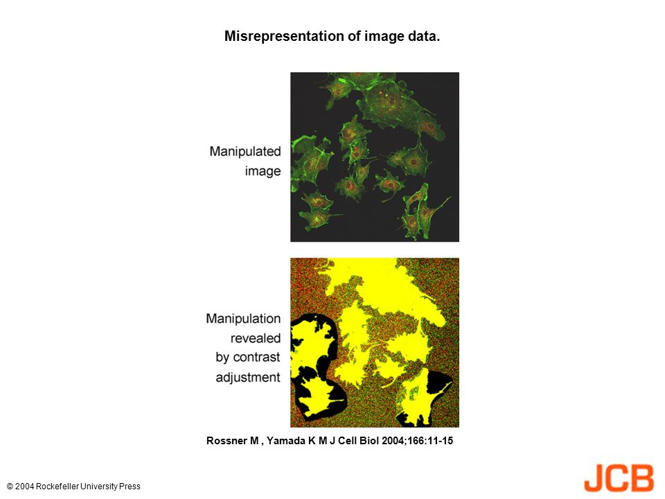 Misrepresentation of image data. Rossner M, Yamada K M J Cell Biol 2004;166:11-15 © 2004 Rockefeller University Press