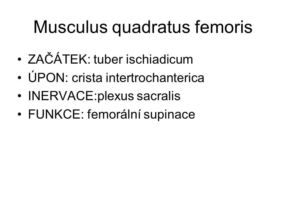 Musculus quadratus femoris ZAČÁTEK: tuber ischiadicum ÚPON: crista intertrochanterica INERVACE:plexus sacralis FUNKCE: femorální supinace