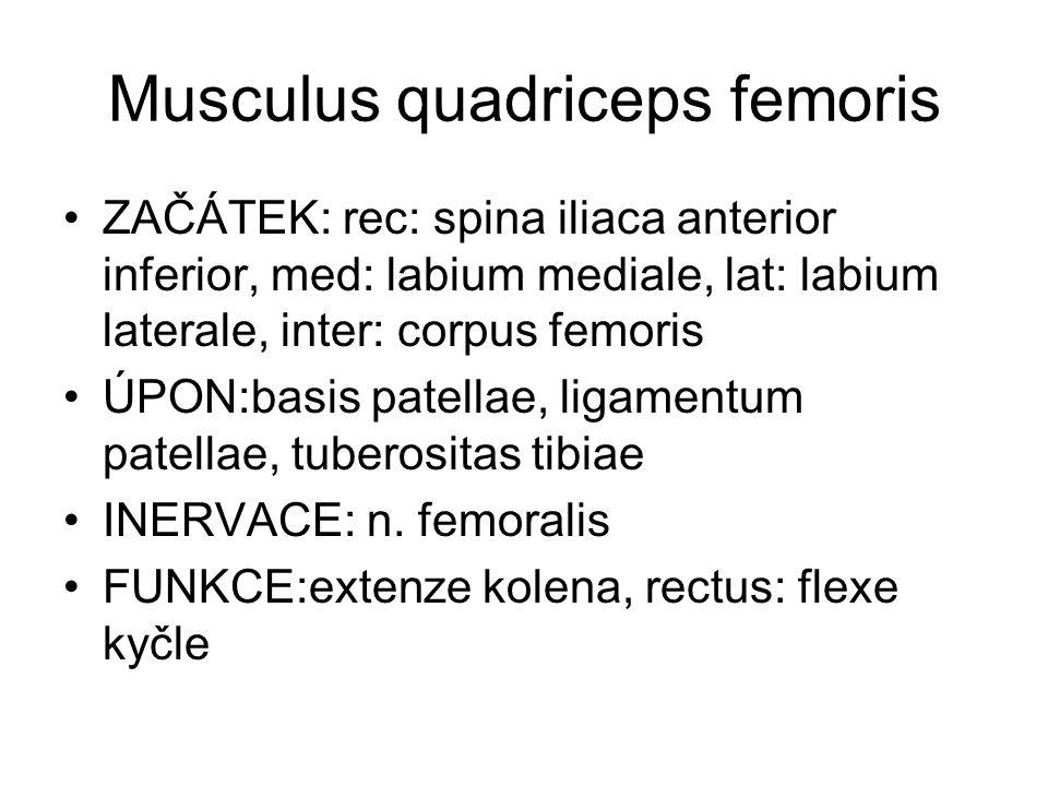 Musculus quadriceps femoris ZAČÁTEK: rec: spina iliaca anterior inferior, med: labium mediale, lat: labium laterale, inter: corpus femoris ÚPON:basis patellae, ligamentum patellae, tuberositas tibiae INERVACE: n.