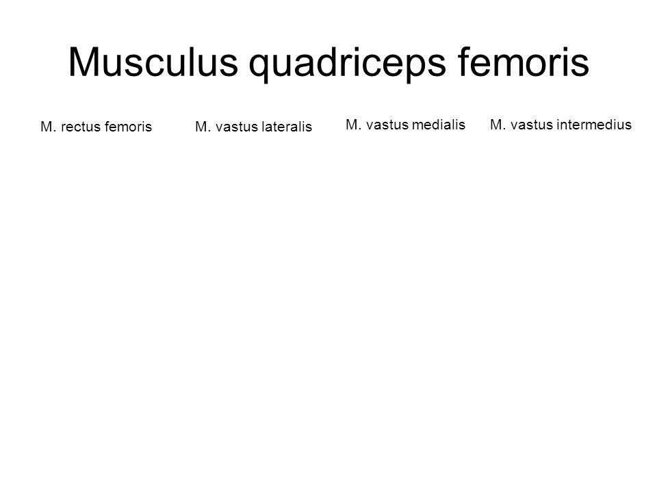 Musculus quadriceps femoris M. rectus femorisM. vastus lateralis M. vastus medialisM. vastus intermedius