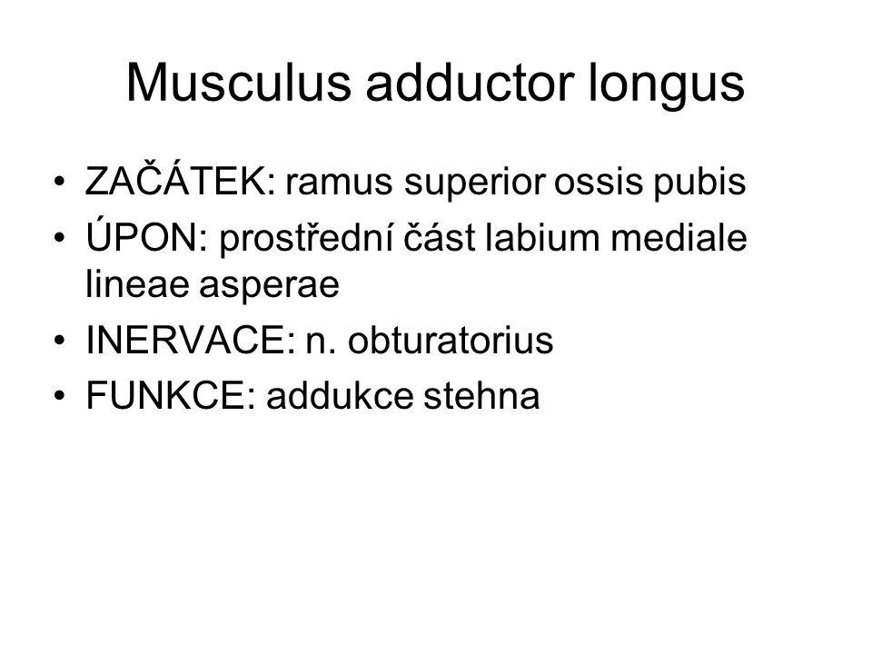 Musculus adductor longus ZAČÁTEK: ramus superior ossis pubis ÚPON: prostřední část labium mediale lineae asperae INERVACE: n. obturatorius FUNKCE: add