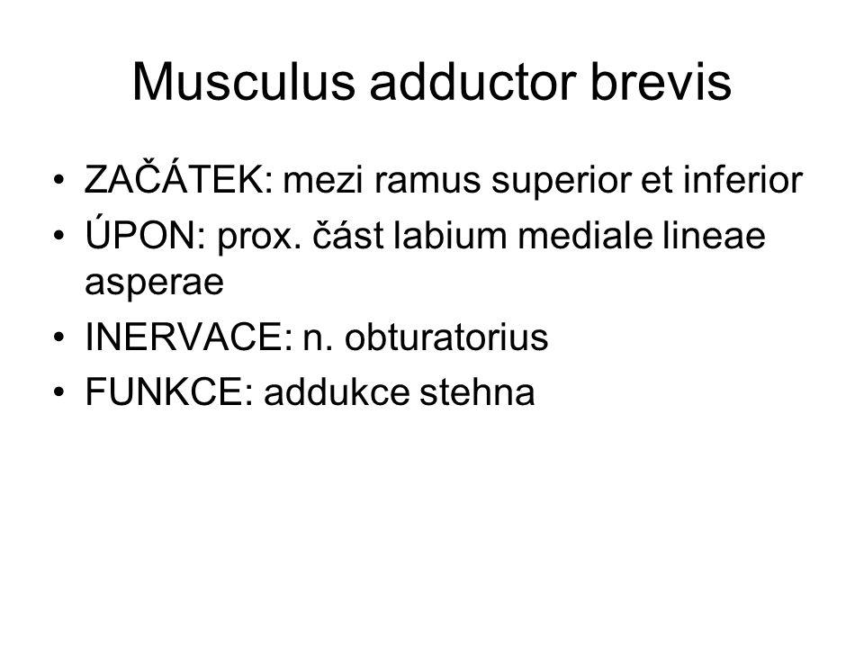 Musculus adductor brevis ZAČÁTEK: mezi ramus superior et inferior ÚPON: prox. část labium mediale lineae asperae INERVACE: n. obturatorius FUNKCE: add