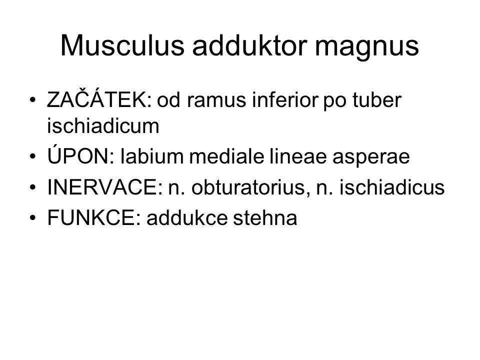 Musculus adduktor magnus ZAČÁTEK: od ramus inferior po tuber ischiadicum ÚPON: labium mediale lineae asperae INERVACE: n. obturatorius, n. ischiadicus