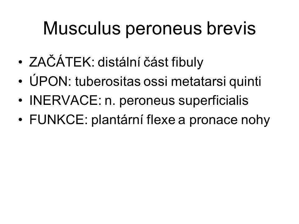 Musculus peroneus brevis ZAČÁTEK: distální část fibuly ÚPON: tuberositas ossi metatarsi quinti INERVACE: n. peroneus superficialis FUNKCE: plantární f