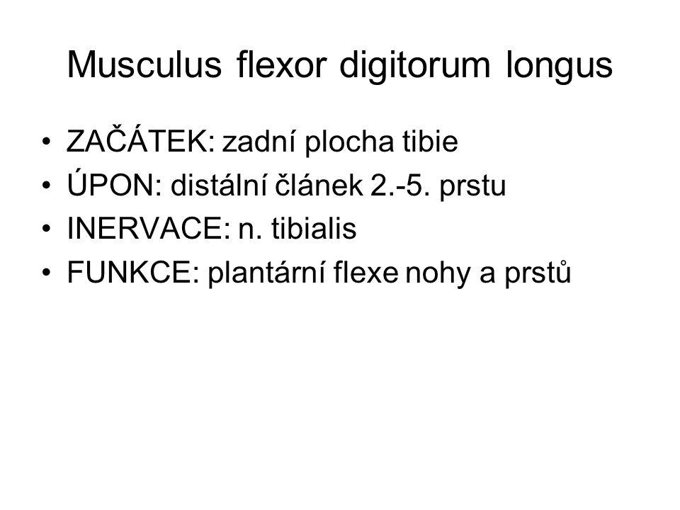 Musculus flexor digitorum longus ZAČÁTEK: zadní plocha tibie ÚPON: distální článek 2.-5. prstu INERVACE: n. tibialis FUNKCE: plantární flexe nohy a pr