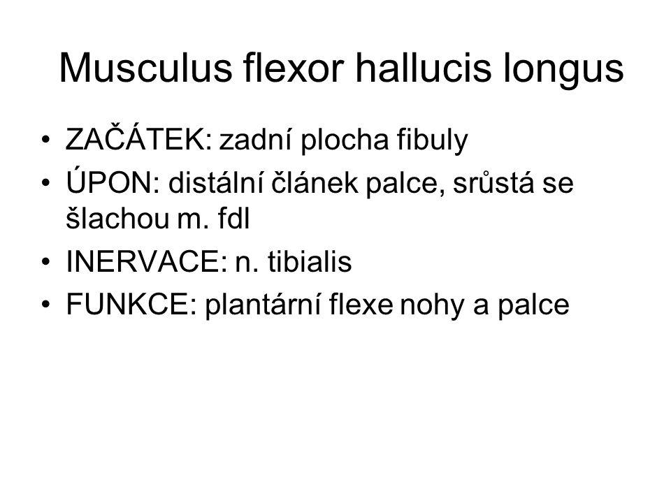 Musculus flexor hallucis longus ZAČÁTEK: zadní plocha fibuly ÚPON: distální článek palce, srůstá se šlachou m. fdl INERVACE: n. tibialis FUNKCE: plant