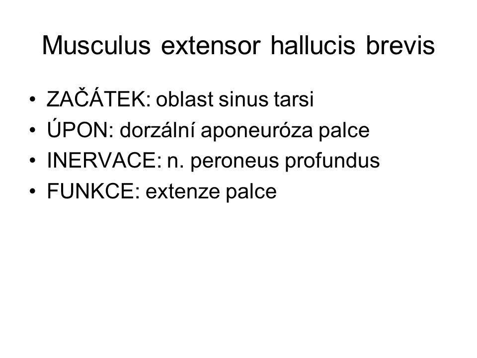 Musculus extensor hallucis brevis ZAČÁTEK: oblast sinus tarsi ÚPON: dorzální aponeuróza palce INERVACE: n. peroneus profundus FUNKCE: extenze palce