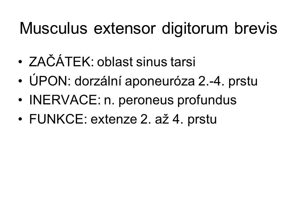 Musculus extensor digitorum brevis ZAČÁTEK: oblast sinus tarsi ÚPON: dorzální aponeuróza 2.-4. prstu INERVACE: n. peroneus profundus FUNKCE: extenze 2