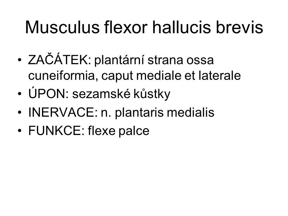 Musculus flexor hallucis brevis ZAČÁTEK: plantární strana ossa cuneiformia, caput mediale et laterale ÚPON: sezamské kůstky INERVACE: n.