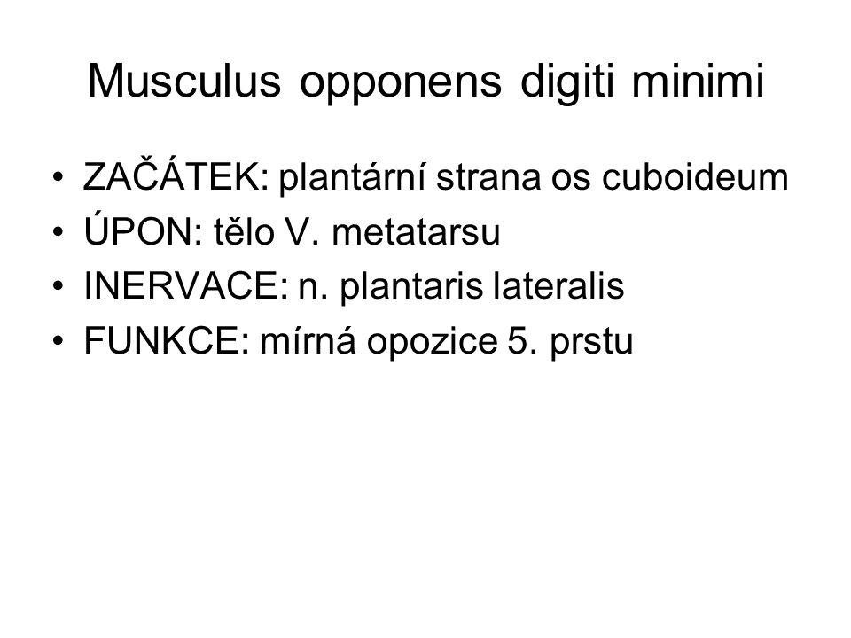 Musculus opponens digiti minimi ZAČÁTEK: plantární strana os cuboideum ÚPON: tělo V. metatarsu INERVACE: n. plantaris lateralis FUNKCE: mírná opozice