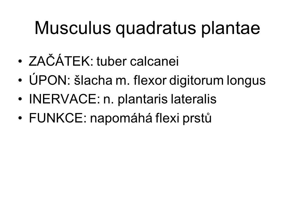 Musculus quadratus plantae ZAČÁTEK: tuber calcanei ÚPON: šlacha m. flexor digitorum longus INERVACE: n. plantaris lateralis FUNKCE: napomáhá flexi prs