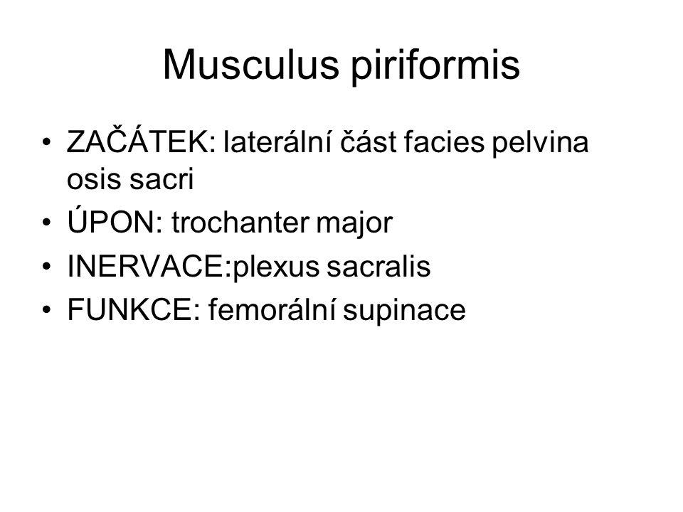 Musculus piriformis ZAČÁTEK: laterální část facies pelvina osis sacri ÚPON: trochanter major INERVACE:plexus sacralis FUNKCE: femorální supinace