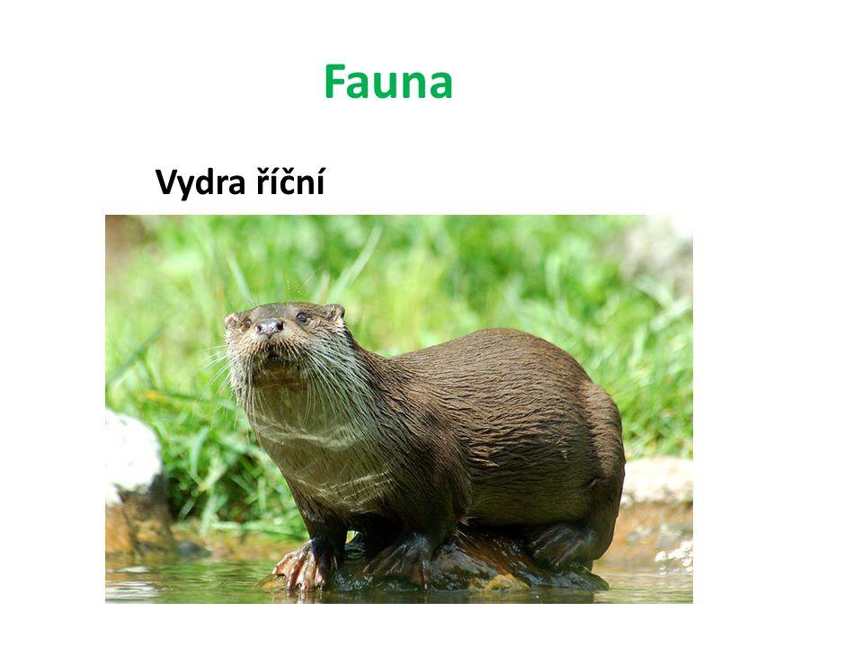 Fauna Vydra říční