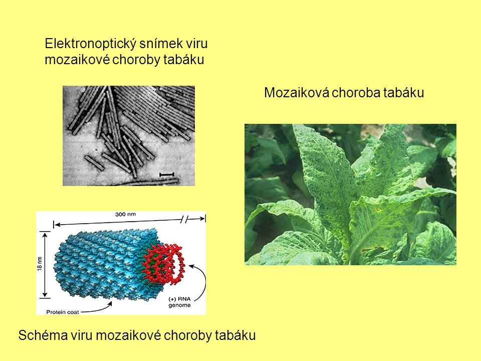 Schéma viru mozaikové choroby tabáku Elektronoptický snímek viru mozaikové choroby tabáku Mozaiková choroba tabáku