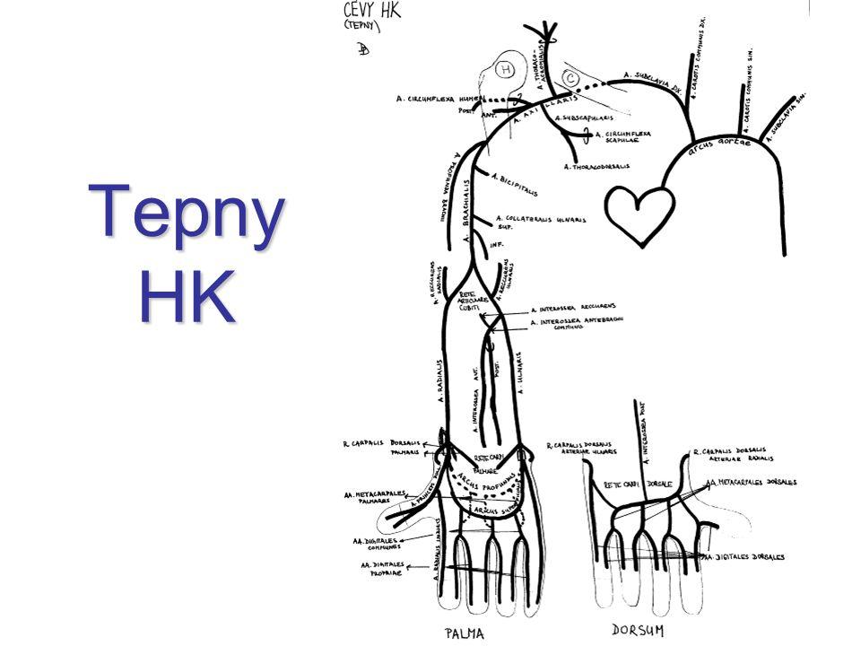 Aorta aorta ascendens arcus aortae aorta descendens –pars thoracica –pars abdominalis ateroskleróza aneuryzmata náhrady cystická medionekróza Takayashuova arteritída (granulomatózní)