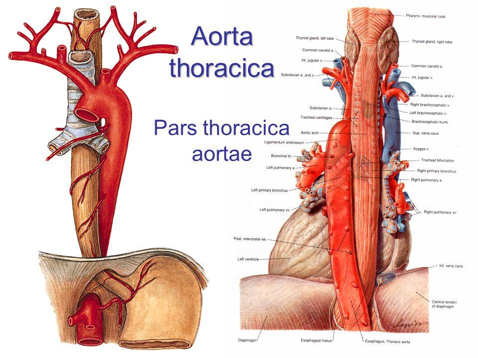 Aorta thoracica Aorta thoracica Pars thoracica aortae