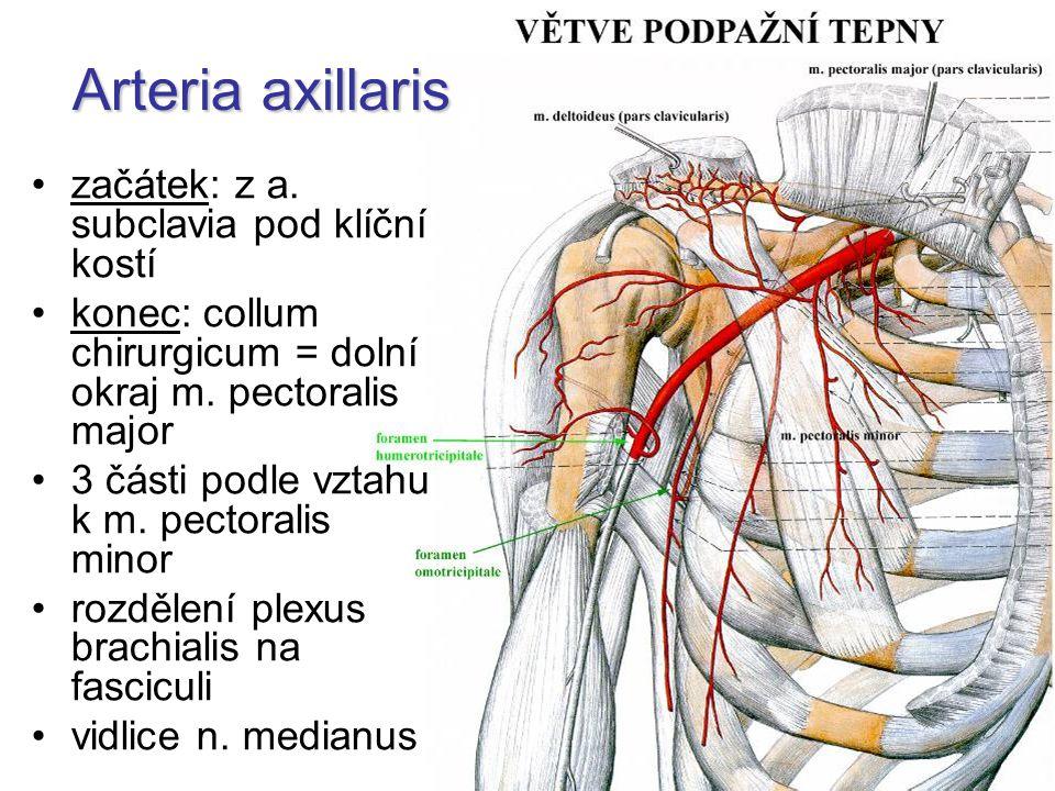 Arteria axillaris začátek: z a. subclavia pod klíční kostí konec: collum chirurgicum = dolní okraj m. pectoralis major 3 části podle vztahu k m. pecto