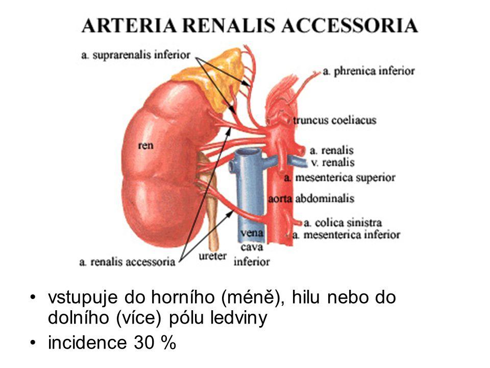 vstupuje do horního (méně), hilu nebo do dolního (více) pólu ledviny incidence 30 %