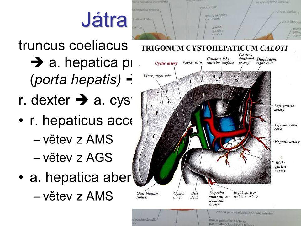 Játra a žlučník truncus coeliacus  a. hepatica communis  a. hepatica propria  r. dx.+ sin. (porta hepatis)  aa. interlobulares r. dexter  a. cyst