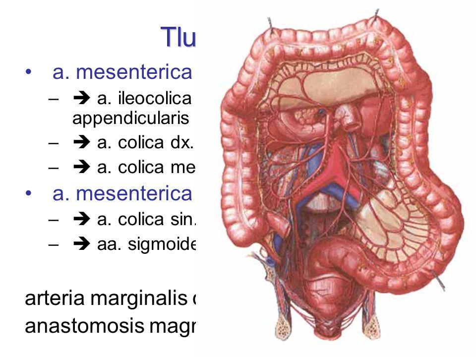 Tlusté střevo a. mesenterica sup. –  a. ileocolica  a. caecalis ant. + post., a. appendicularis –  a. colica dx. (colon ascendens) –  a. colica me