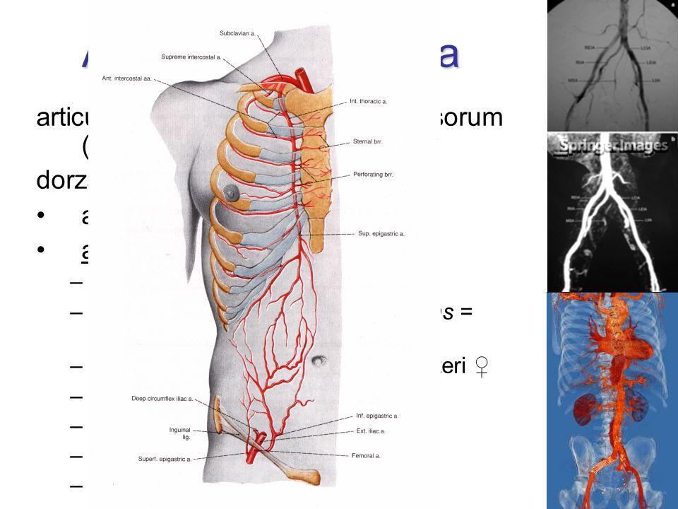 Arteria iliaca externa articulatio sacroiliaca  lacuna vasorum (  a. femoralis) dorzálně od močovodu a. circumflexa ilium profunda a. epigastrica in