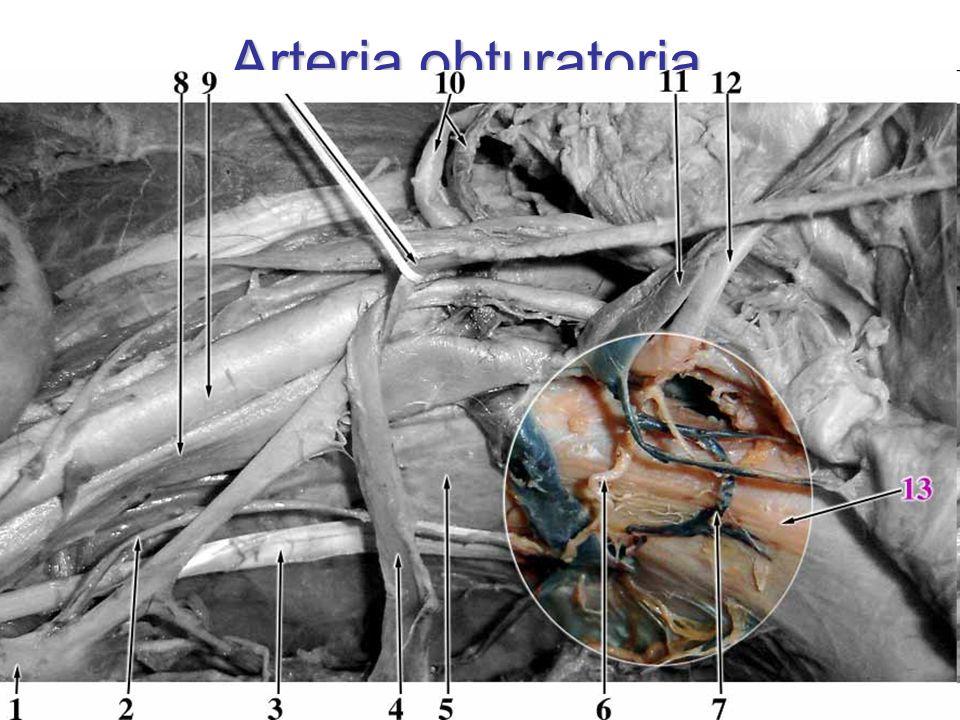 Arteria obturatoria 2. ventrální větev z ventrálního kmene AII kaudálně od nervu r. pubicus corona mortis canalis obturatorius r. acetabularis r. ante