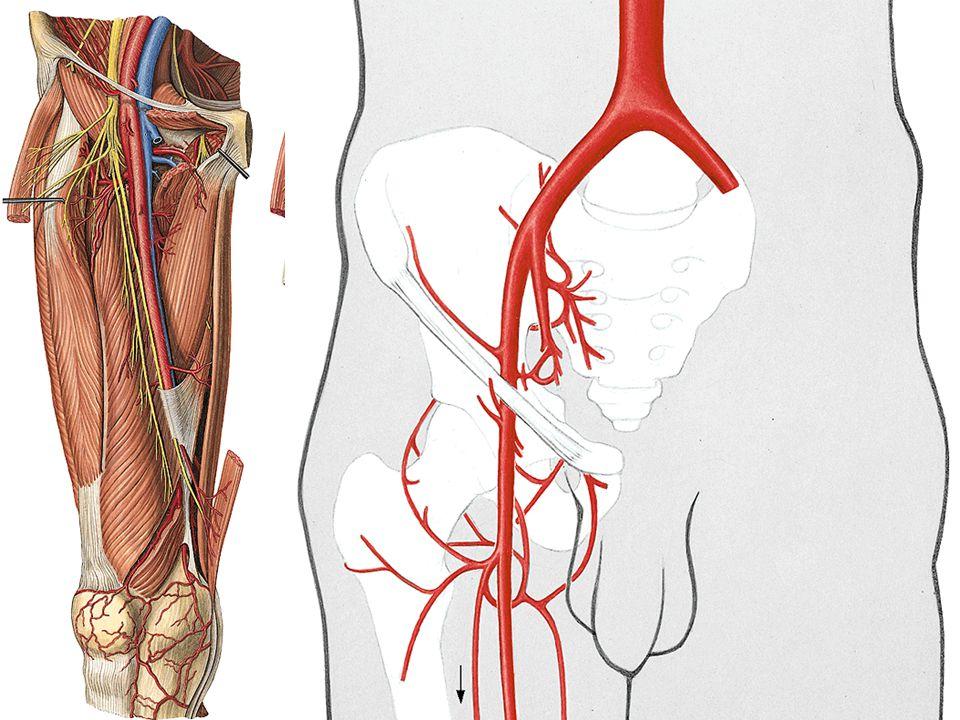 Arteria femoralis