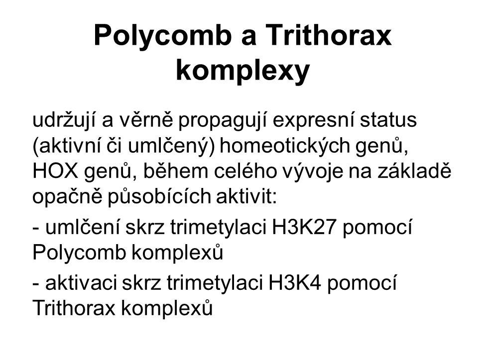 Polycomb a Trithorax komplexy udržují a věrně propagují expresní status (aktivní či umlčený) homeotických genů, HOX genů, během celého vývoje na zákla
