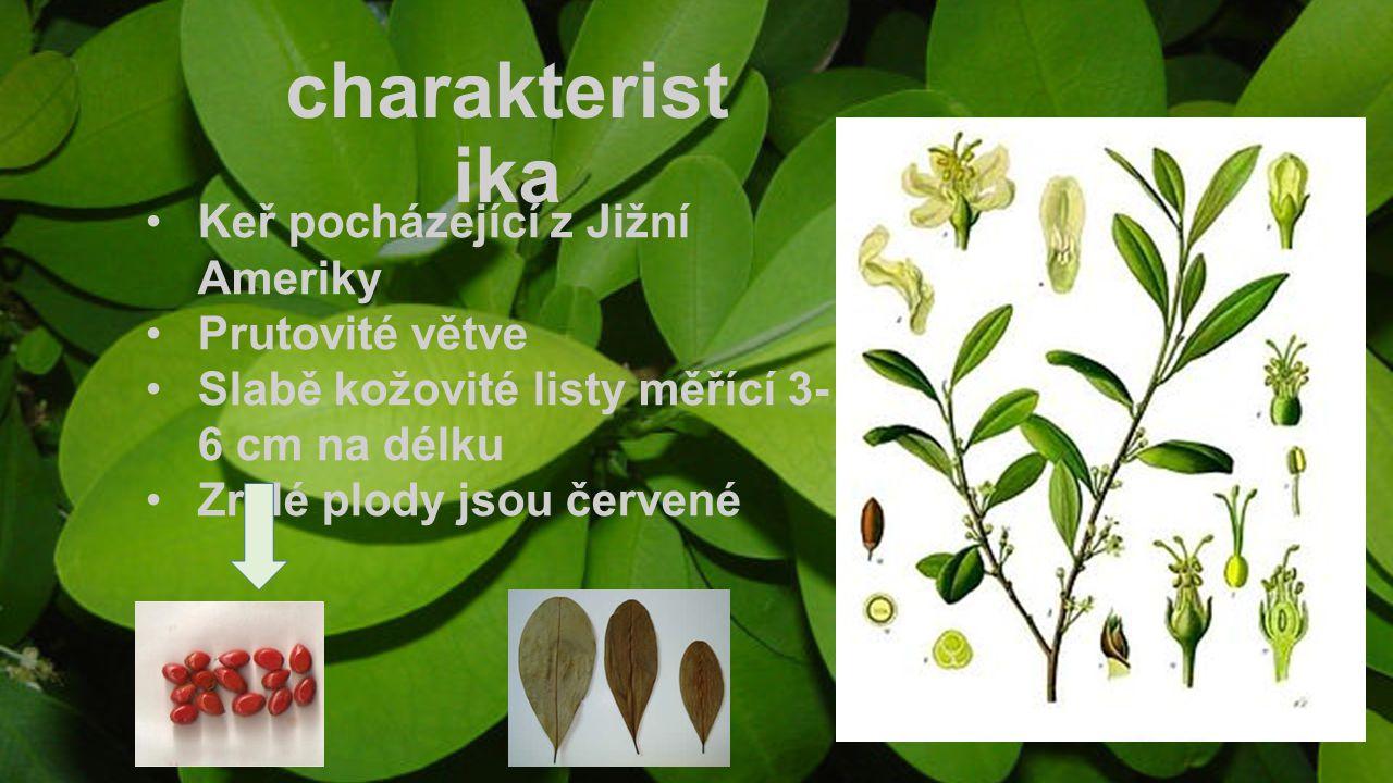 charakterist ika Keř pocházející z Jižní Ameriky Prutovité větve Slabě kožovité listy měřící 3- 6 cm na délku Zralé plody jsou červené