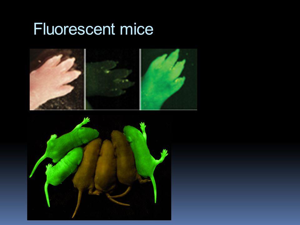 Fluorescent mice