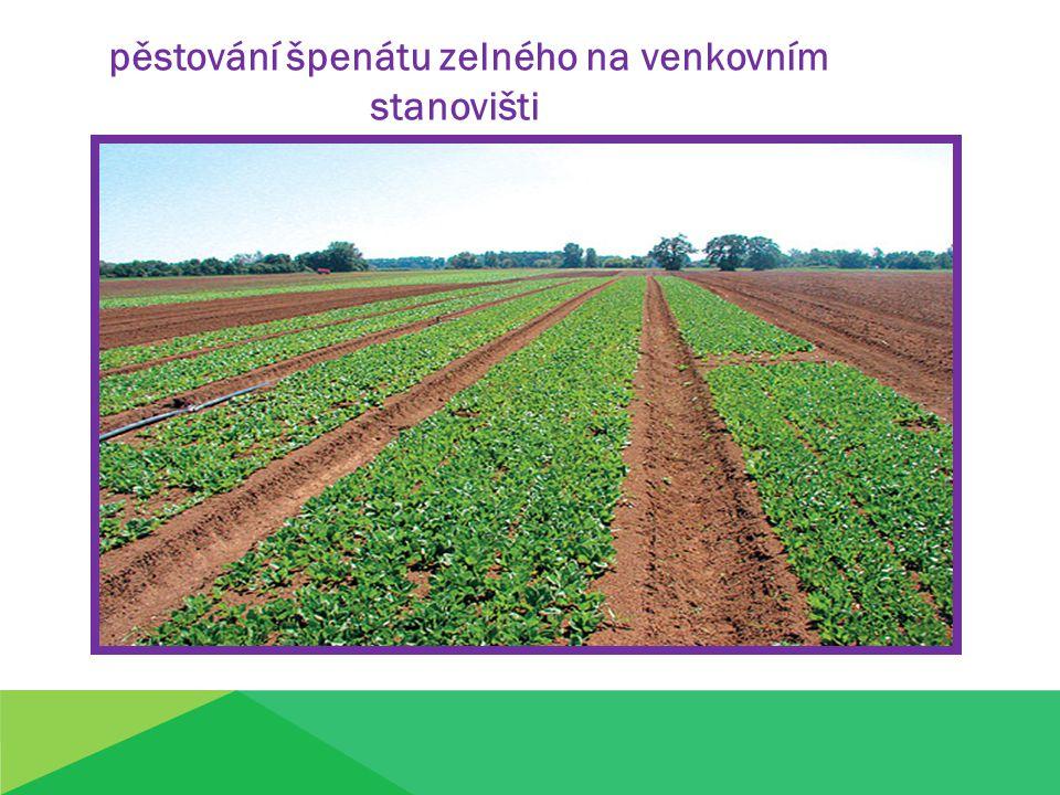 pěstování špenátu zelného na venkovním stanovišti