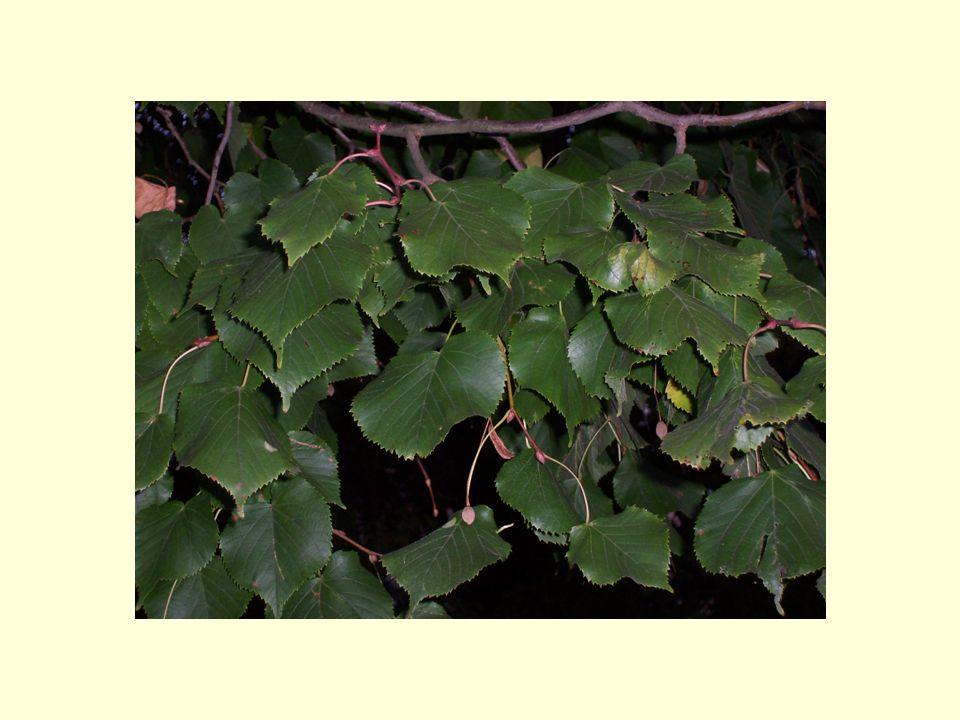 9.Tenhle strom zná každé dítě… a) buk obecný b) dub letní c) hrušeň