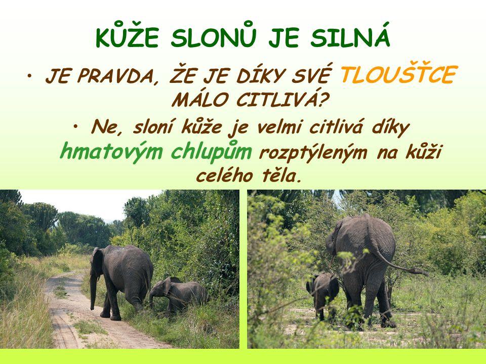 KŮŽE SLONŮ JE SILNÁ JE PRAVDA, ŽE JE DÍKY SVÉ TLOUŠŤCE MÁLO CITLIVÁ? Ne, sloní kůže je velmi citlivá díky hmatovým chlupům rozptýleným na kůži celého