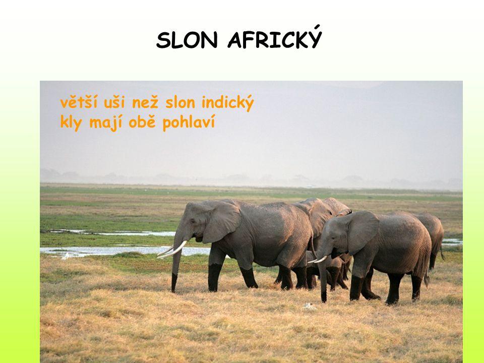 větší uši než slon indický kly mají obě pohlaví SLON AFRICKÝ
