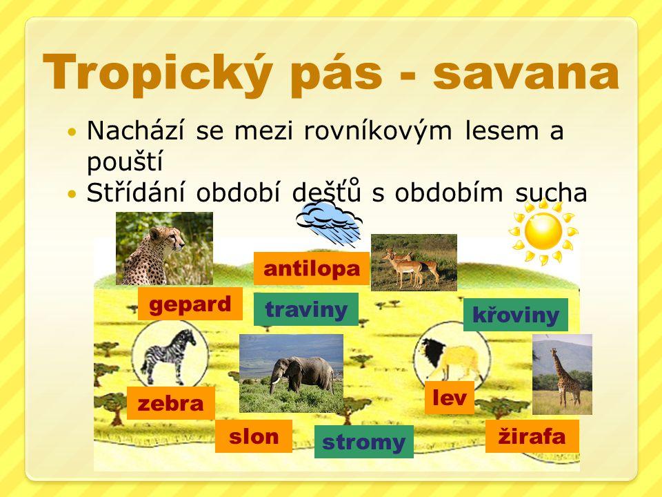 Tropický pás - savana Nachází se mezi rovníkovým lesem a pouští Střídání období dešťů s obdobím sucha traviny lev stromy křoviny zebra antilopa slon g