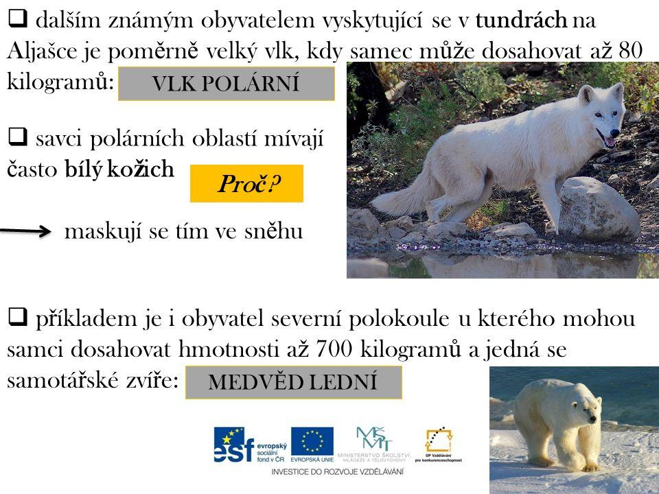  dalším známým obyvatelem vyskytující se v tundrách na Aljašce je pom ě rn ě velký vlk, kdy samec m ůž e dosahovat a ž 80 kilogram ů : ………………….